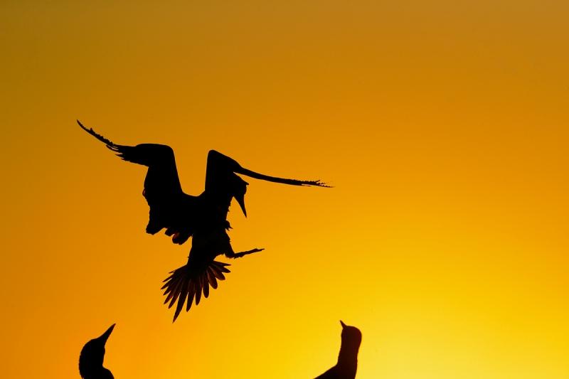 blue-footed-booby-landing-silh-_q8r0194-puntamangle-fernandina-galapagos