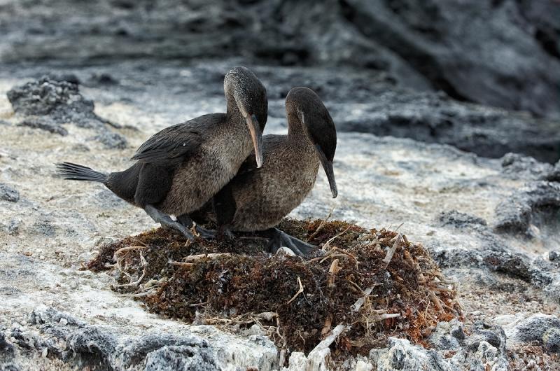 flightless-cormorant-switching-incubation-duties-_a1c9131-punta-espinoza-fenandina-galapagos