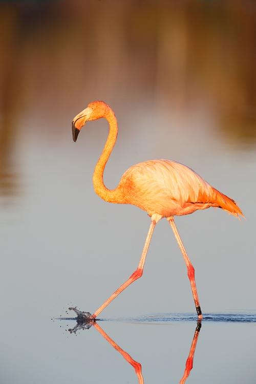 galapagos-flamingo-striding-_q8r8042-dragon-hill-santa-cruz-galapagos