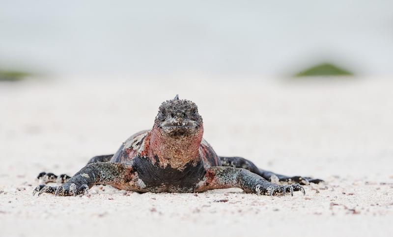 marine-iguana-eye-level-_q8r2131-punta-suarez-hood-island-galapagos
