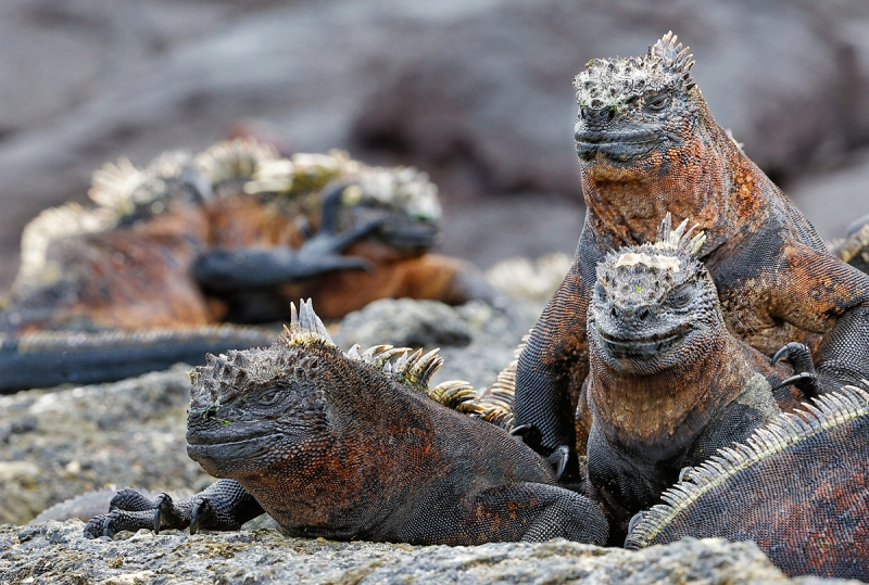 marine-iguana-loafing-_a1c8938-punta-espinoza-fenandina-galapagos