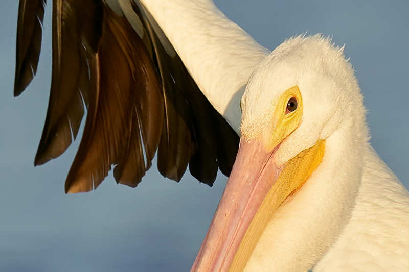 100-pct-crop-American-White-Pelican-flapping-in-place-LQFY-_A927470-South-Padre-Island-TX-1