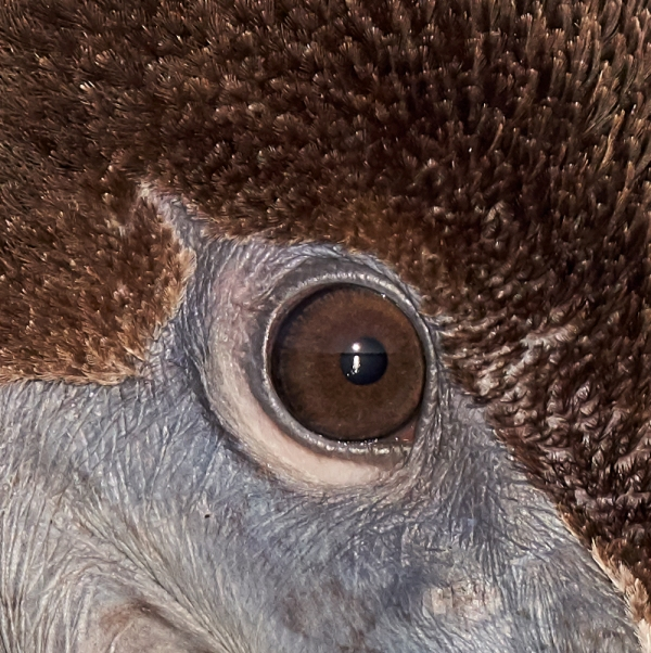 100-pct-crop-Brown-Pelican-immature-head-neck-and-breast-portait_DSC2526-Fort-DeSoto-Park-Pinellas-County-FL-1