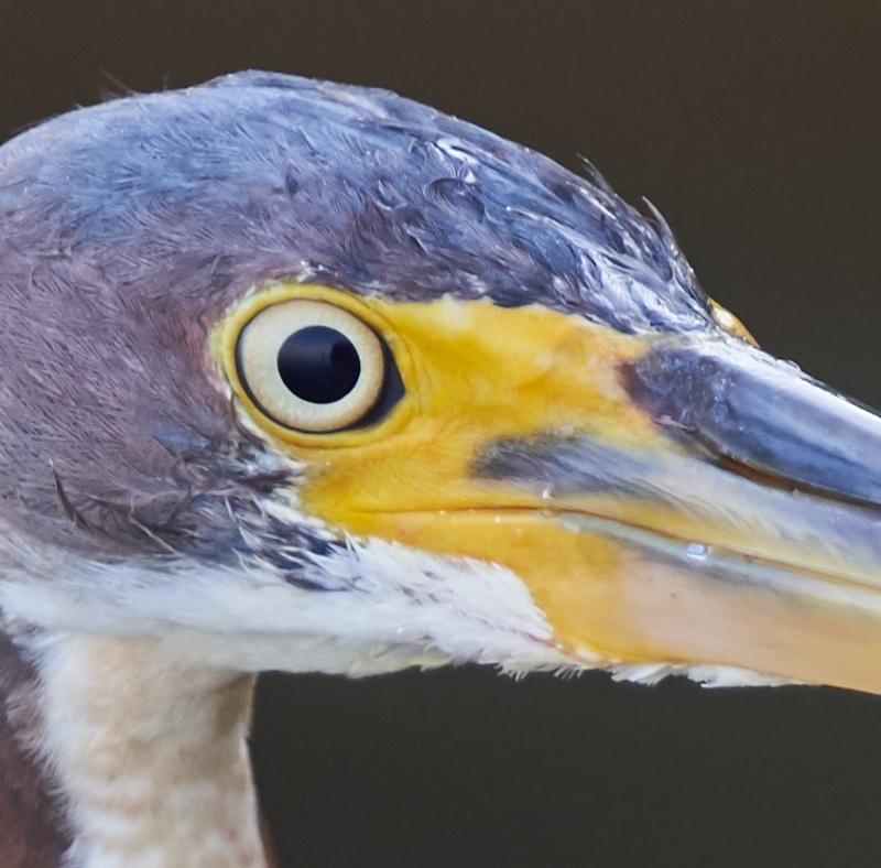 100-pct-crop-Tricolored-Heron-juvenile-_DSC0706-Fort-DeSoto-Park-Pinellas-County-FL-1