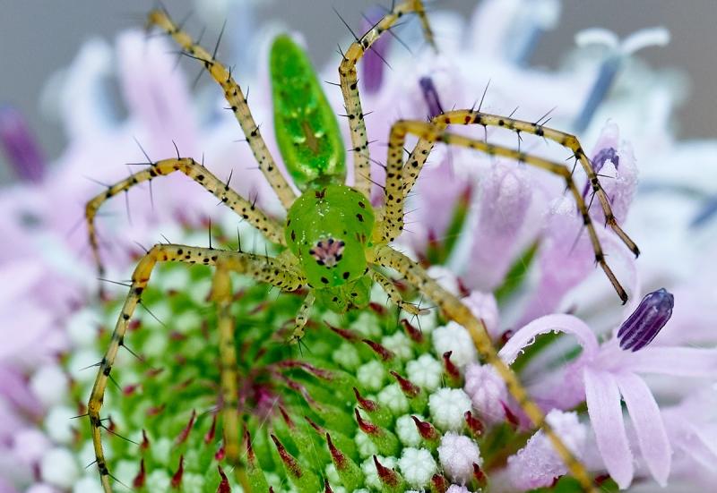 100-pct-crop-spider-on-Grassleaf-Barbaras-Buttons-Marshallia-graminifolia-blossom-_7R47786-Indian-Lake-Estates-FL-1