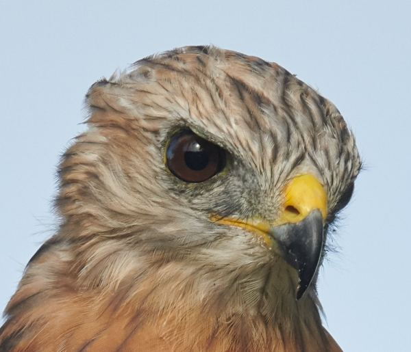 100-pct-head-Red-shouldered-Hawk-perched-in-pine-_BUP2101-Indian-Lake-Estates-FL-1