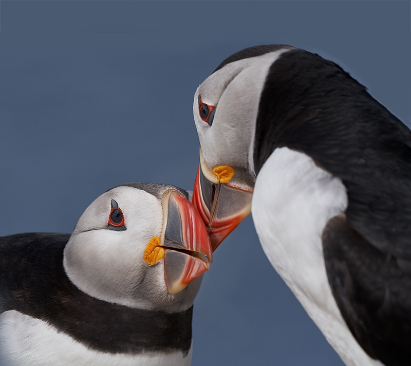1_Atlantic-Puffins-billing-courtship-_A7R5573-Seahouses-UK-1