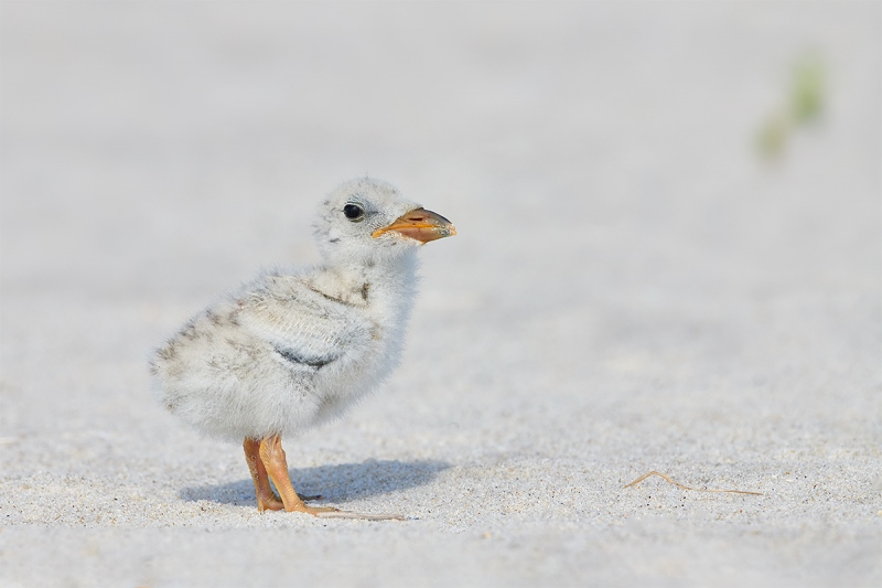 1_Black-Skimmer-chick-_BUP1137-Nickerson-Beach-Park-Lido-Beach-Long-Island-MY-1