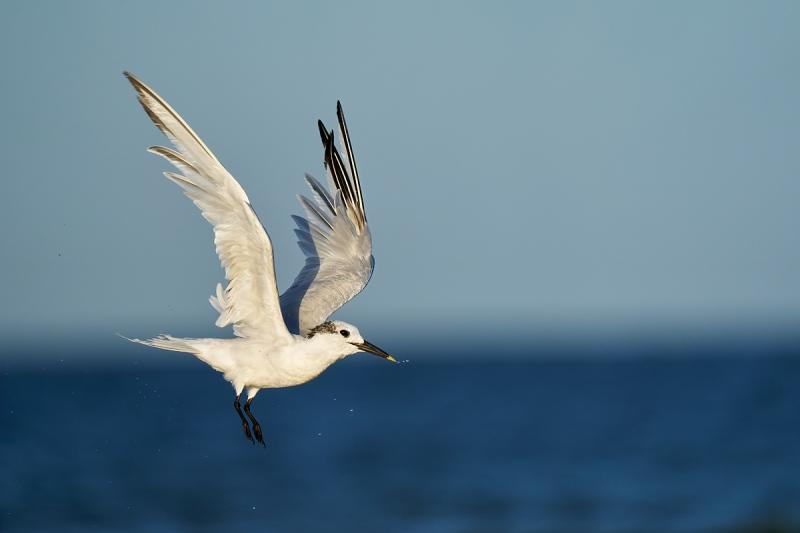 1_Sandwich-Tern-taking-flight-after-bath-_A9B2605-Fort-DeSoto-Park-FL-1