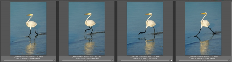 4-great-egrets-striding-Untitled-1