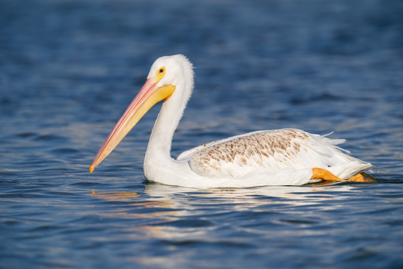 Amercian-White-Pelican-juvenile-with-brown-feathers-on-the-back-_A9B8331-Fort-DeSoto-Park-FL-1