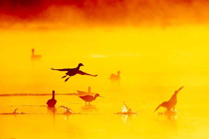 American-Coot-fire-in-the-mist-take-off-_J1I8928--Gilbert-Water-Ranch,-Phoenix,-AZ