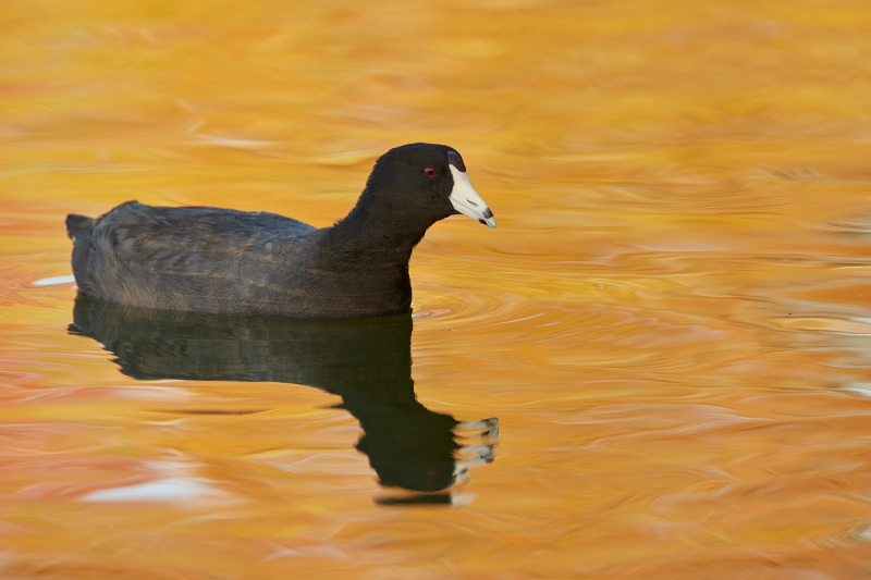 American-Coot-in-early-morning-reflections-_Q5A9879-Lakeland-FL-1