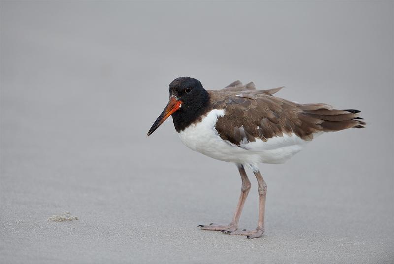 American-Oystercatcher-juvenile-_MAI4430Nickerson-Beach-Park-Gilgo-Beach-NY-1