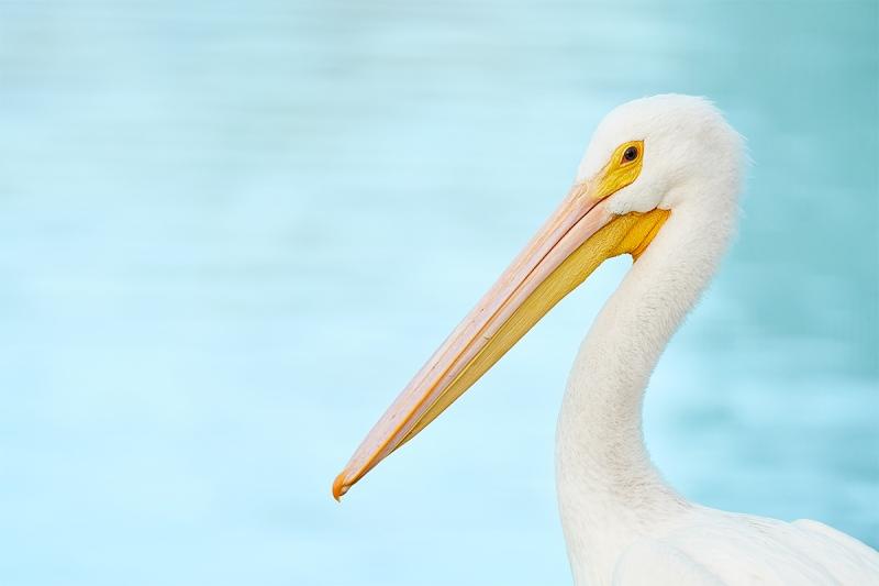 American-White-Pelican-L-_7R47883-Lakeland-FL-1