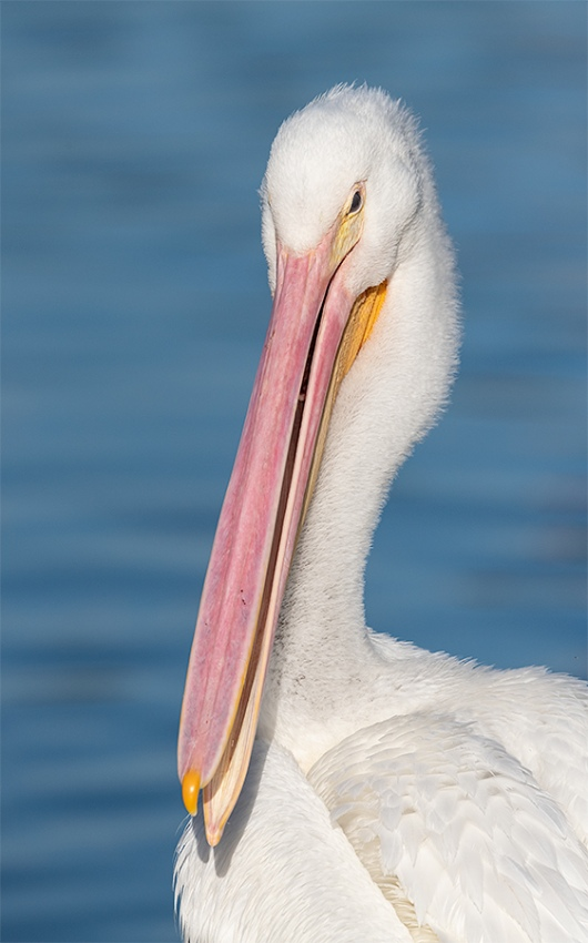 American-White-Pelican-immature-_BUP8589-Lakeland-FL