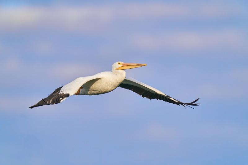 American-White-Pelican-in-flight-_A920541-Lakeland-FL-1