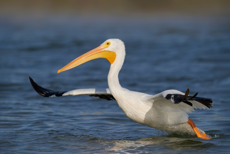 American-White-Pelican-taking-flight-1200mm-_A9B8394-Fort-DeSoto-Park-FL-1