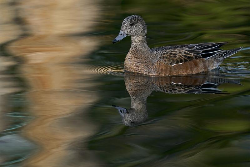 American-Wigeon-hen-_A928859-Socoorro-NM-1
