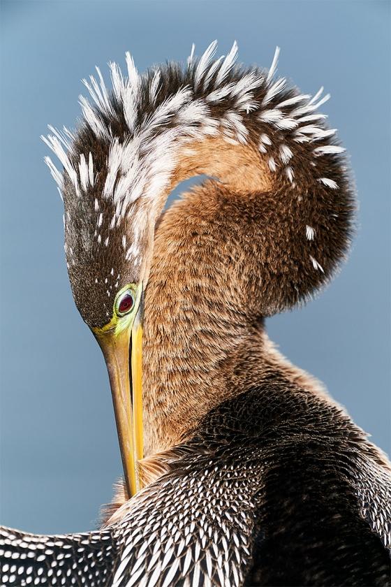 Anhinga-adult-female-breeding-plumage-preening-_A9A1501-Lakeland-FL-1