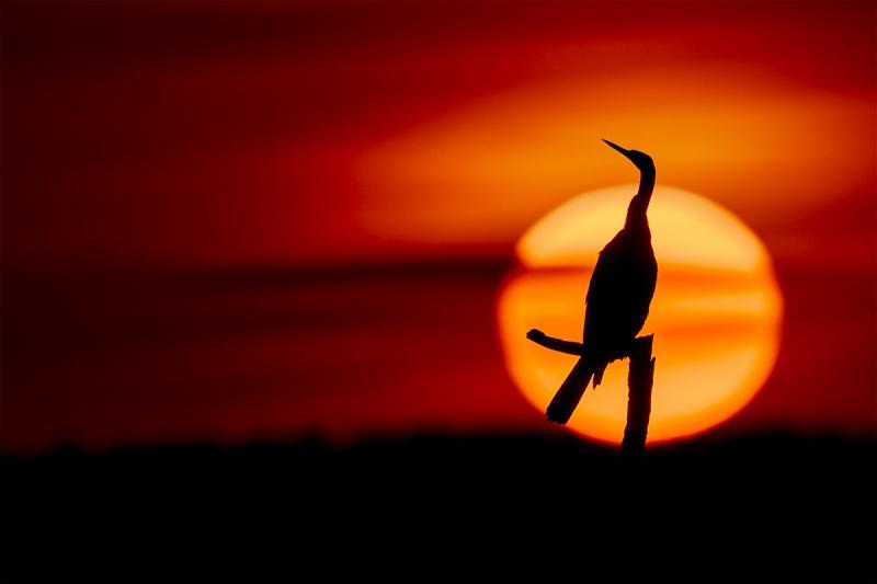 Anhinga-elegant-at-sunset-_DSC6247-Indian-Lake-Estates-FL-1