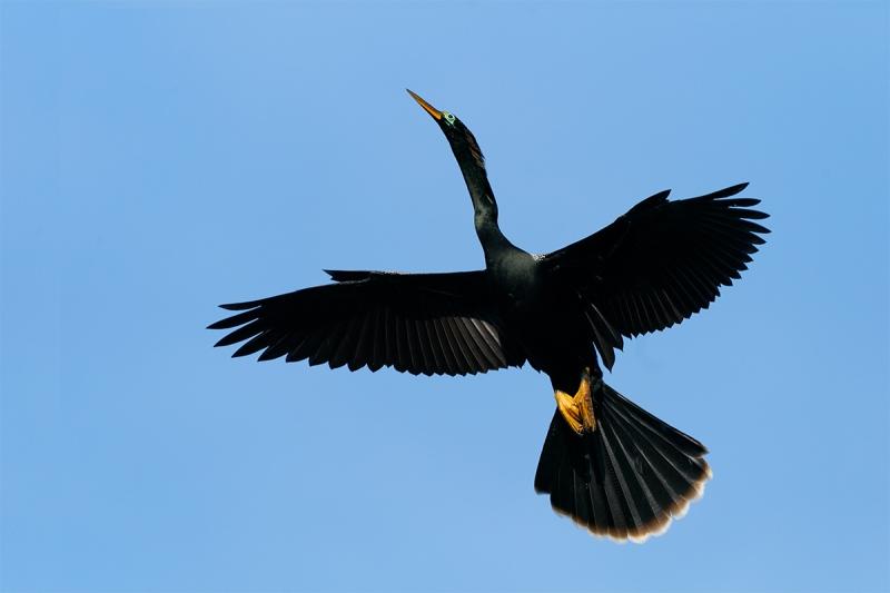 Anhinga-male-incoming-_A926033-Gatorland-FL-1