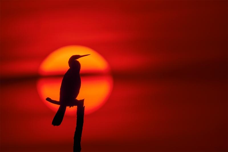 Anhinga-posing-at-sunset-_DSC6247-Indian-Lake-Estates-FL-1