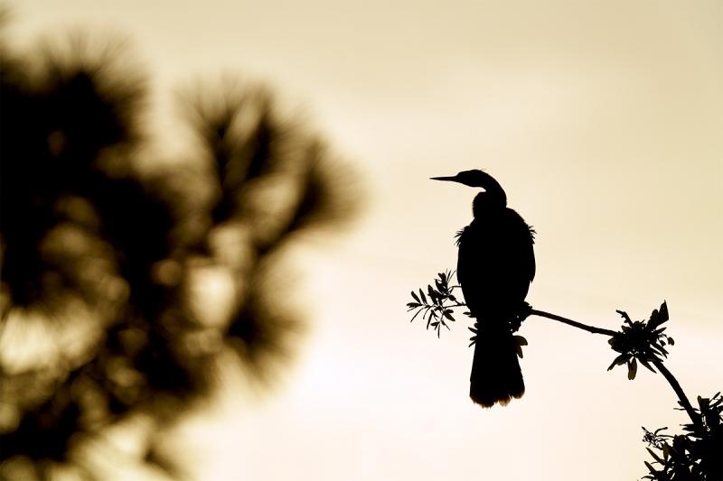 Anhinga-silhouette-_7R41156-Gatorland-FL-1