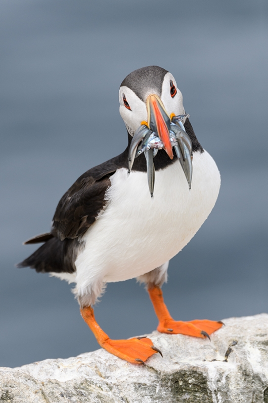 Atlantic-Puffin-with-sand-eels--_DSC3789islands-off-Seahouses,-UK