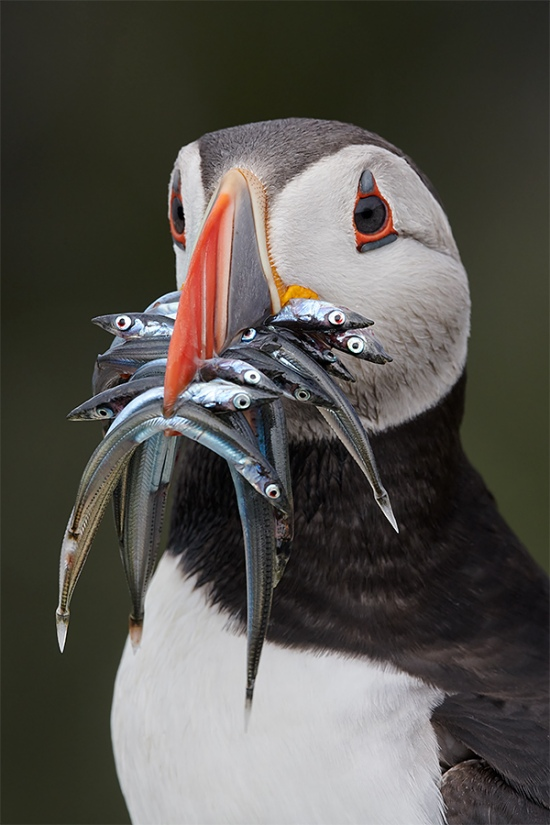 Atltantic-Puffin-with-sand-eels-_BUP4619-Seahlouses-UK-1