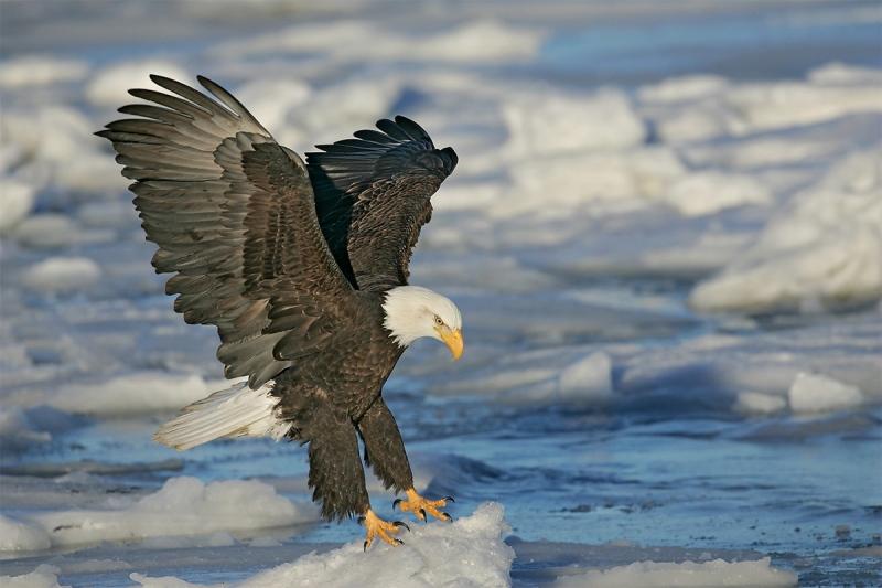 Bald-Eagle-AD-landing-after-jump-_H2D1303-Homer-Alaska