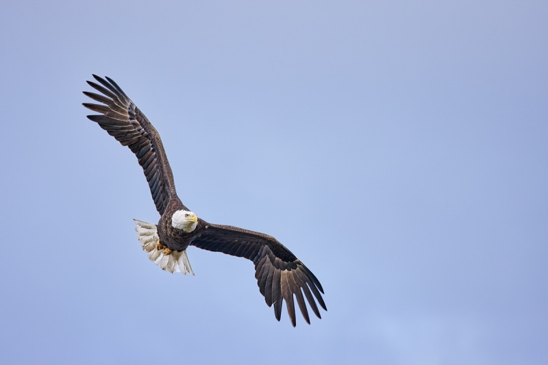 Bald-Eagle-R5-flight-DS-_Q5A0496-Indian-Lake-Estates-FL-1-1