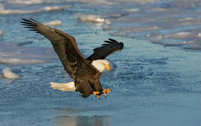 Bald-Eagle-a-talons-extended-strike-_T9J0318-Homer-Alaska