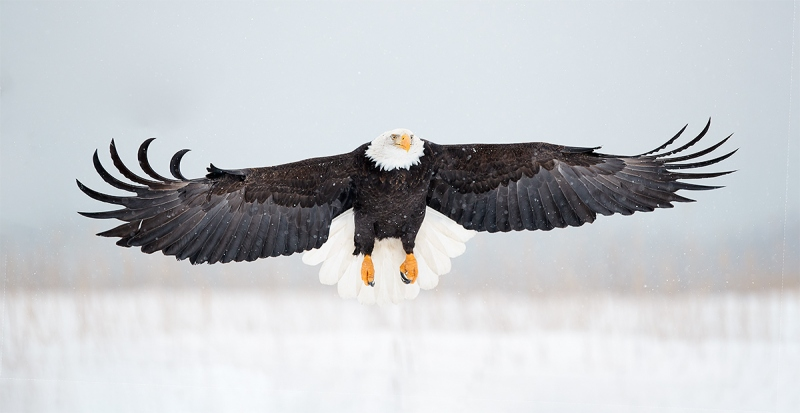 Bald-Eagle-braking-to-land-Canon-300-1DX-M-II-_A3I8558-Kachemak-Bay-AK-1