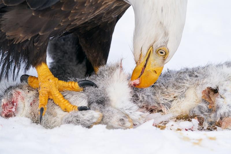 Bald-Eagle-eatiing-rabbit-_A9B6172-Kachemak-Bay-AK-1