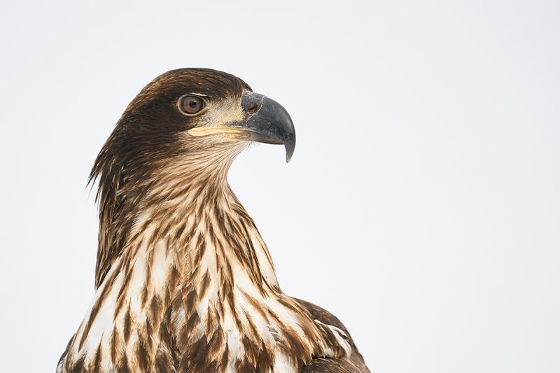 Bald-Eagle-head-portrait-juvenile-_A9B7092-Kachemak-Bay-AK-1
