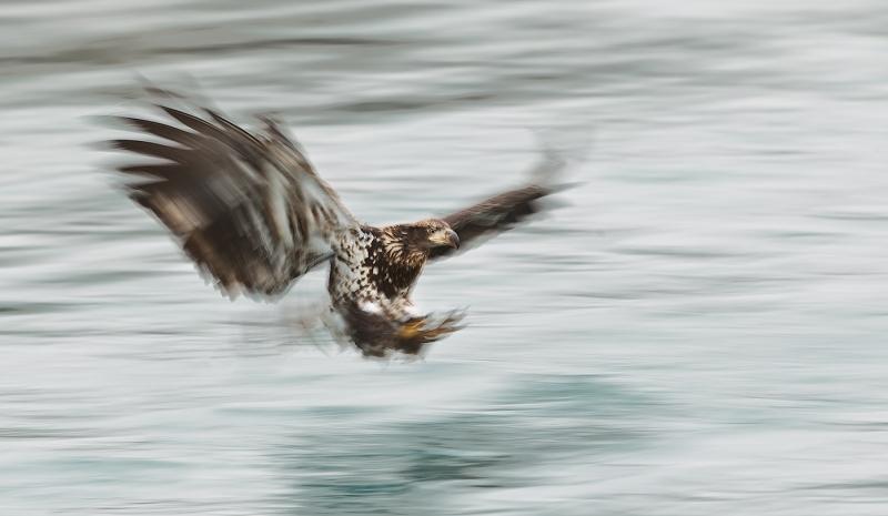 Bald-Eagle-imm-blur-1-30-sec-_Y9C7750-near-Homer-AK