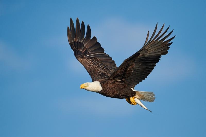 Bald-Eagle-in-flight-with-walleye-_BUP0362-nr-Dryden-Ontario-CA-1