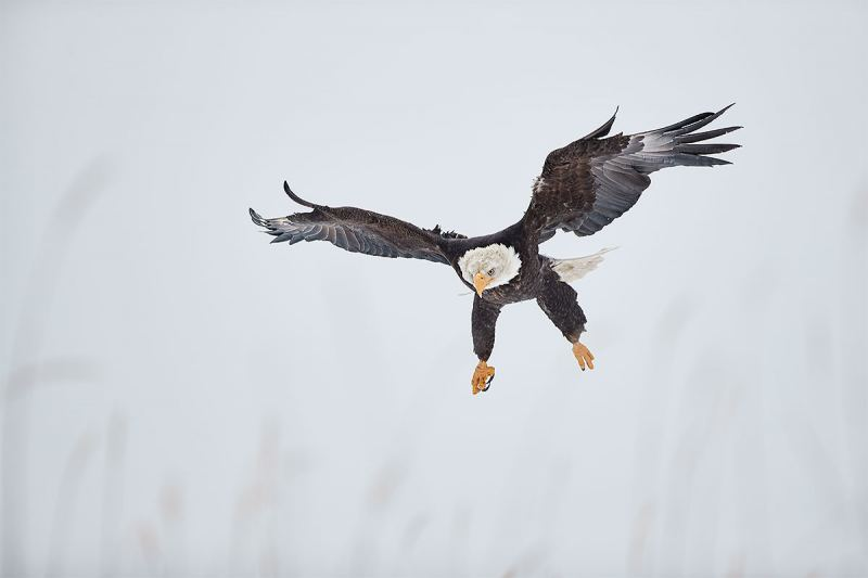 Bald-Eagle-incoming-300-1DX-II-_A3I8249-Kachemak-Bay-AK-1