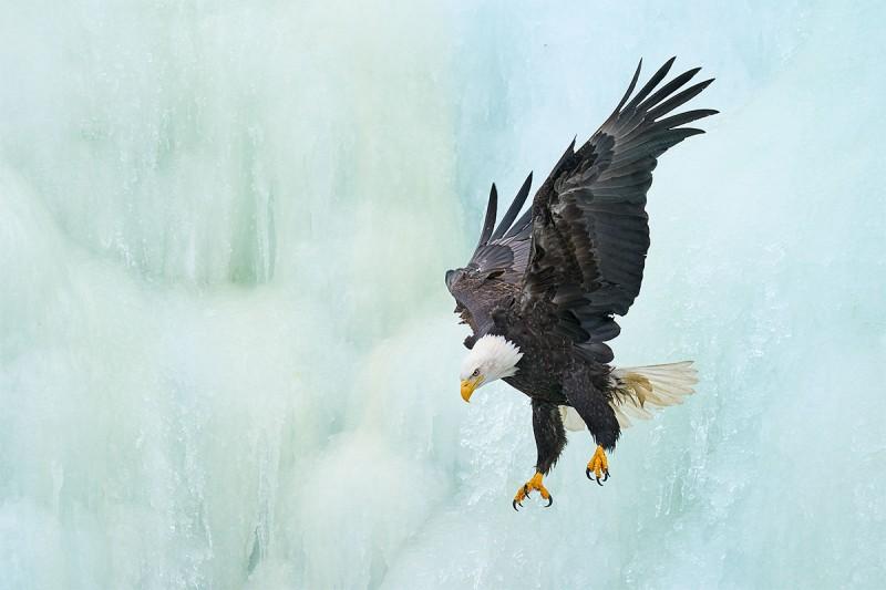 Bald-Eagle-jumping-off-ice-waterfall-_A9B6188-Kachemak-Bay-AK-1