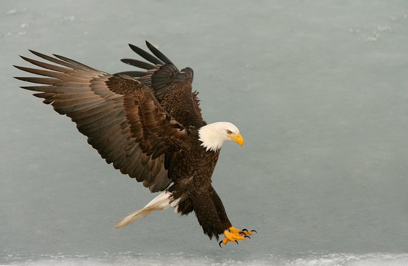 Bald-Eagle-landing-feet-out-wings-back-YL8X9927-Homer-Alaska