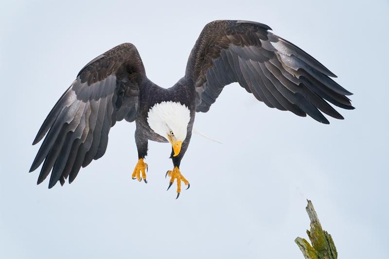 Bald-Eagle-landing-new-image-design-_A920677-Kachemak-Bay-AK-1