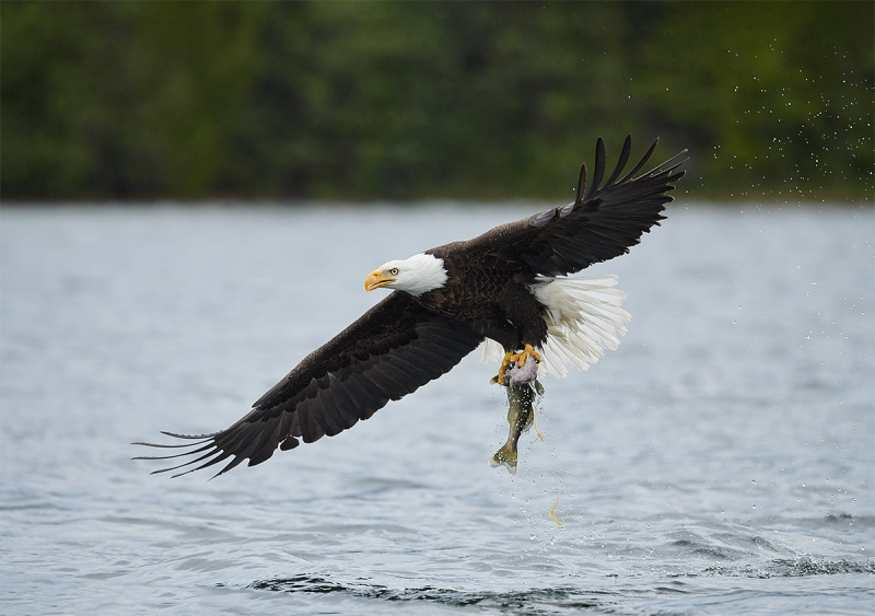 Bald-Eagle-lifting-off-with-walleye-_BUP0112-nr-Dryden-Ontario-CA-1
