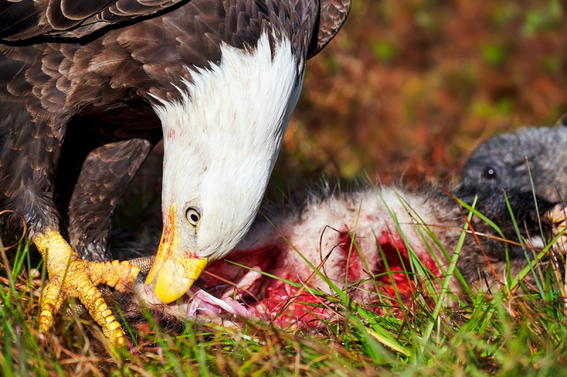 Bald-Eagle-on-road-kill-opposum-C-SAT-CONTR-_7R43172-Indian-Lake-Estates-FL-1