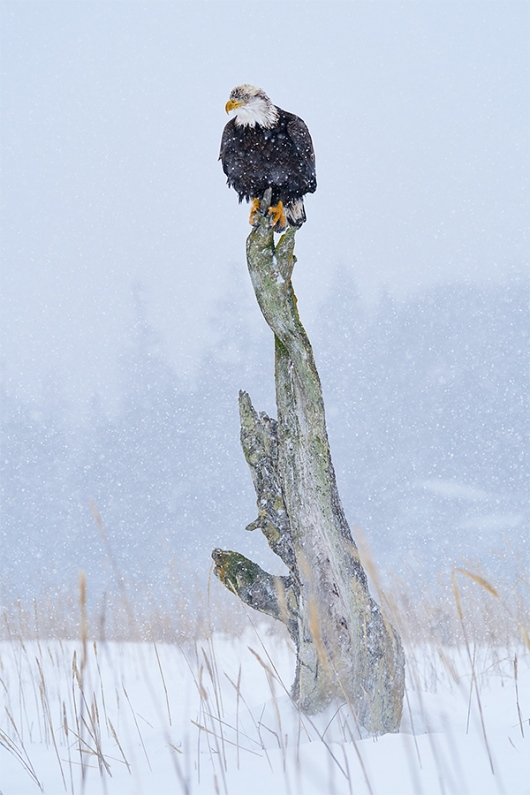Bald-Eagle-oon-perch-in-falling-snow_A929671-Kachemak-Bay-AK-1