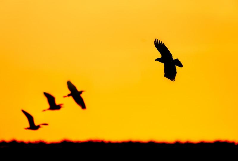 Bald-Eagle-silouette-w-wading-birds-PHOTO-ILLUSTRATION-_A9B6304-Indian-Lake-Estates-FL-1