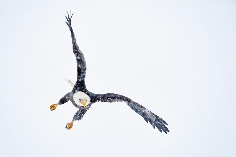 Bald-Eagle-starting-dive-in-snow-_A929164-Kachemak-Bay-AK-1