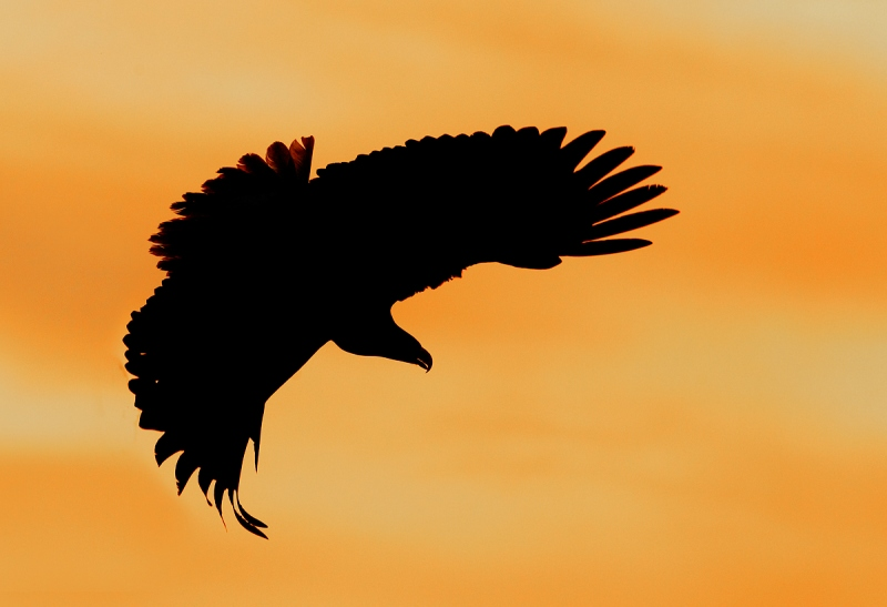Bald-Eagle-turning-to-dive-SATURATED-_Y9C6822-near-Homer-AK