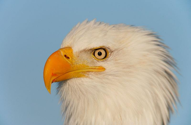 Bald-Eagle-w-salmon-blood-on-bill-YL8X0627-Homer-Alaska