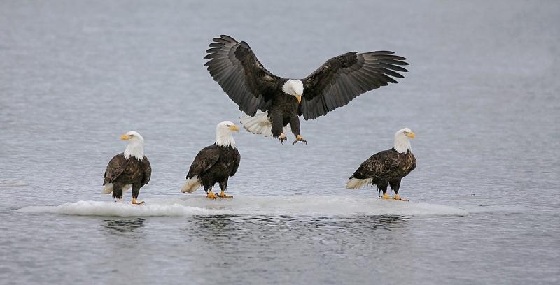 Bald-Eagles-no-room-on-the-iceberg-A_T9J0696-Homer-Alaska